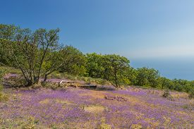 pic of clary  - Flowers on a green plateau above the gulf in coast of Black sea - JPG