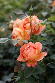 image of english rose  - Beautiful English Roses in garden setting surrounded by green leaves - JPG