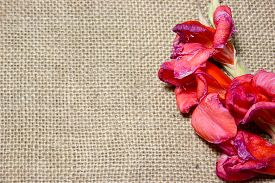 picture of gladiola  - red gladiola flower on a burlap background - JPG