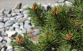 stock photo of pine-needle  - Pine needles and pine cones and vividly visible in the photo of a pine tree in front of a blurred background of a rocky background. ** Note: Shallow depth of field - JPG