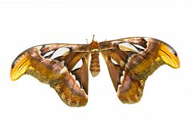 picture of moth  - Biggest Moth  - JPG