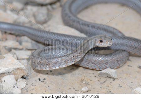 Bairds Rat Snake