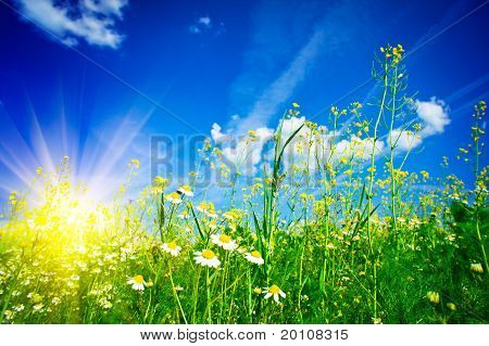 Silence Camomiles,sun And Blue Sky.