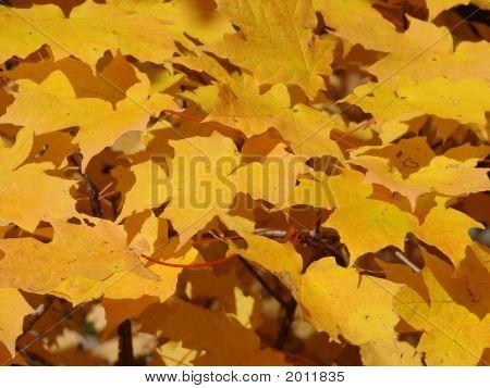 Fall Foliage Background