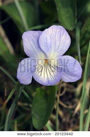 Fen Violet or Turlough Violet