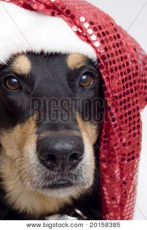 christmas pup in sparkel santa hat