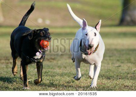 running white and black dog