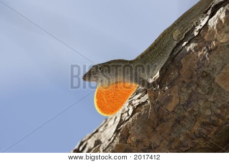 Cuban Brown Anole Lizard