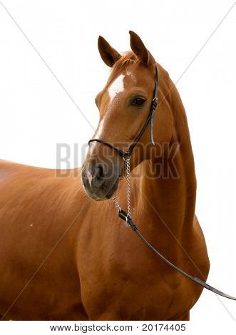 Portrait of bavarian chesnut horse