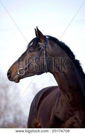 portrait of black trakehner stallion