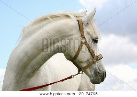 portrait of grey horse