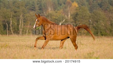 arabian young horse running in field