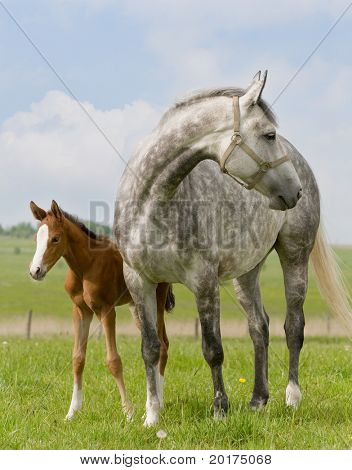 Dapple-gray mare and bay foal in field