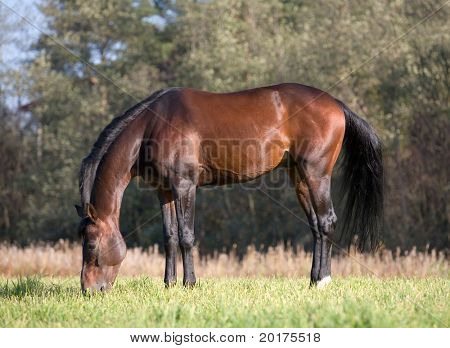 Seal brown Budenny horse in field