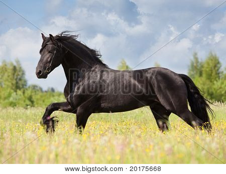 friesian stallion gallop in field