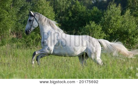 Gray hanoverian  horse running in wood