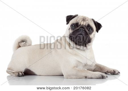 Pug, 2 years old, lying down in front of white background, studio shot