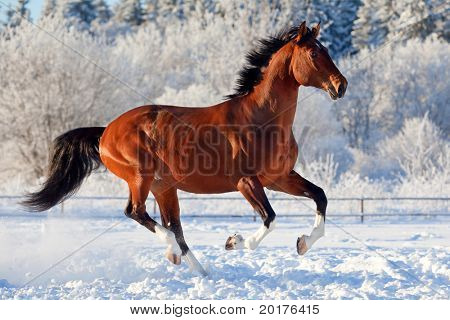 Bay trakehner stallion galloping in winter