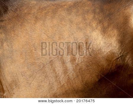 Coat of buckskin horse