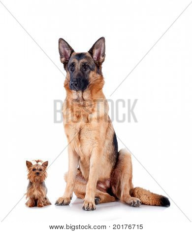 Group of Chihuahua and German Shepherd, isolated on white background, studio shot.