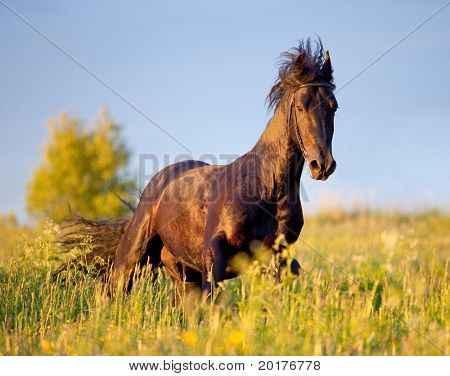 Friesian horse galloping in sunset