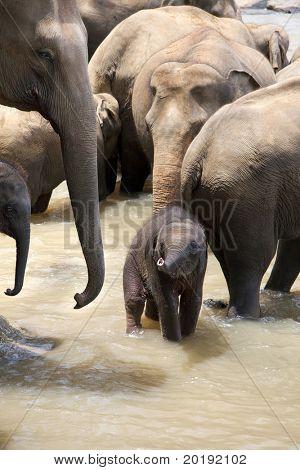 Indian elephants with a baby in a river, Pinnawela elephant orphanage, Sri Lanka
