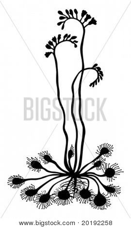 silhouette sundew on white background