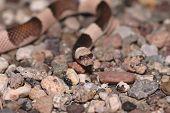 stock photo of harmless snakes  - The saddled leafnose from the Arizona Desert - JPG