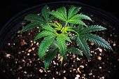 Small potted cannabis plant (Green Crack strain) around 4 weeks old growing in soil medium - medical poster