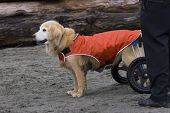handicapped dog with whees