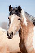 picture of appaloosa  - Portrait of beautiful appaloosa horse in field - JPG