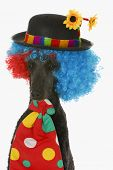 picture of standard poodle  - dog clown  - JPG