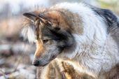 The East Siberian Laika (related Breed Husky). Hunting Scene poster