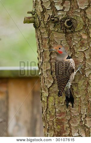 Northern Flicker (Colaptes auratus).