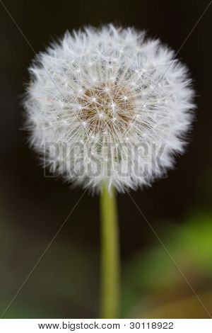 Common Dandelion (lt. Taraxacum sect. Ruderalia)