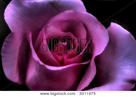 Macro Pink Rose From Valentine Day