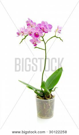 Blooming Orchid On A White Background