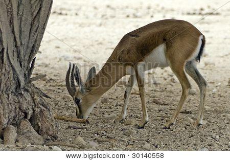Dorcas Gazelle in  National reservation,  Eilat, Israel
