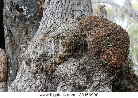Knarly Oak Bark & Squirrel