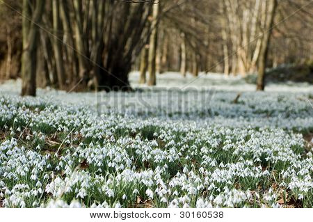 Drift of snowdrop flowers in Spring