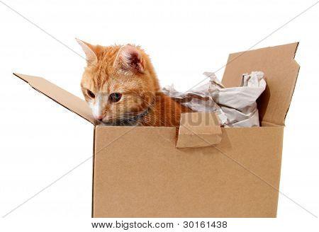 Snoopy Tomcat In Cardboard