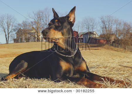 A Doberman Pinscher sitting in a field near a farm