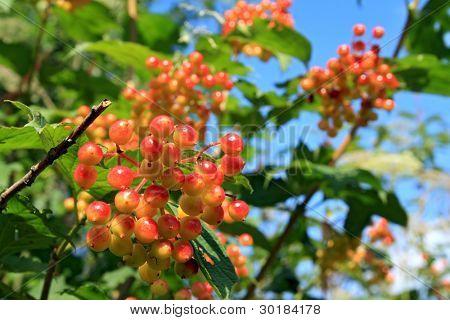 red viburnum on wood background