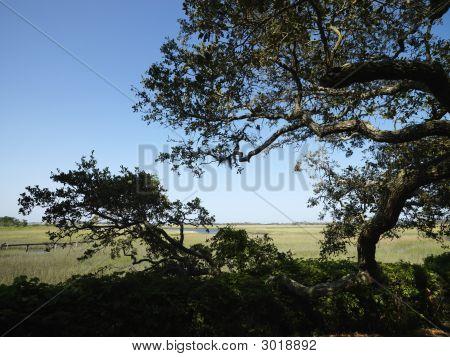 Tree At Wetland.