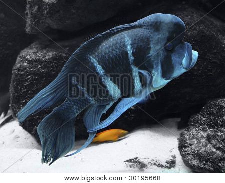 Blue Cichlid And Stones