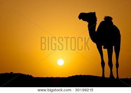 Sol vai para baixo em um deserto quente: silhueta de um camelo selvagem ao pôr do sol (imagem de cor em tons)