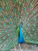 stock photo of peahen  - Peafowl are two Asiatic species of flying birds in the genus Pavo of the pheasant family - JPG