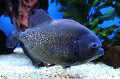 image of piranha  - small piranha fish in the blue water - JPG