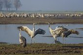 Dancing Cranes. Common Crane In A Natural Bird Habitat. Birdwatching In The Hula Valley At Sunrise I poster