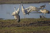 Dancing Cranes. Common Cranes In A Natural Bird Habitat. Birdwatching In The Hula Valley. Nature Lan poster